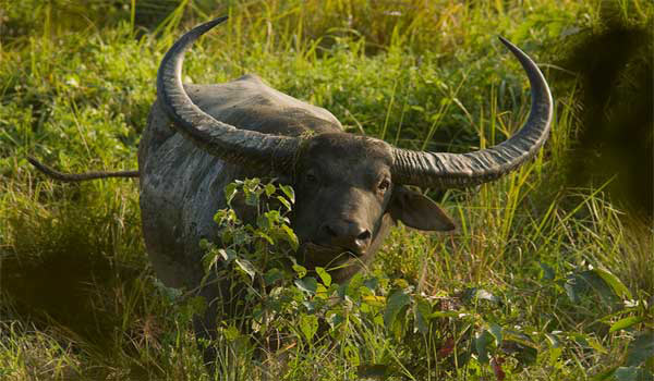 Manas Wildlife Wild water buffalo