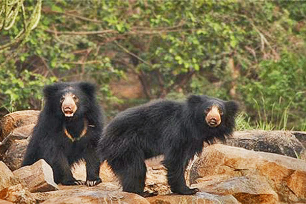 Daroji Bear Sanctuary, Hampi